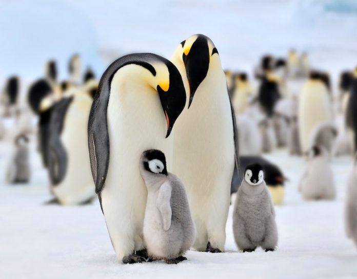 факты об императорских пингвинах