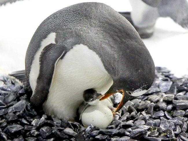 12 фактов об императорских пингвинах