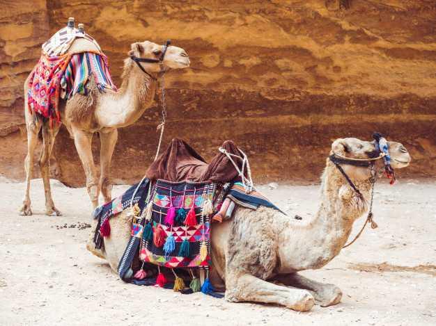 12 увлекательных фактов о верблюдах